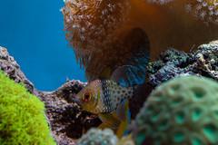 I See You (LadyBMerritt) Tags: fish underwater water aquarium anemone