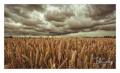 We are so ready! (Bob Geilings) Tags: grain closeup flora yellow orange clouds dramatic harvest field acre season mood