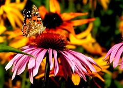 Motyl. (andrzejskałuba) Tags: poland polska pieszyce dolnyśląsk silesia sudety europe plant plants zieleń green garden ogród natura nature natural natureshot natureworld nikoncoolpixb500 macro pink różowy yellow żółty motyl butterfly flower flora floral flowers fauna kwiat kwiaty owad insect roślina rośliny color czerwony red orange pomarańczowy jeżówka echinacea rudbeck rudbekia