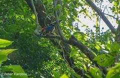 Costa Rica - Feuerschnabelarassari / Pteroglossus frantzii (peterkaroblis) Tags: costarica feuerschnabelarassari pteroglossusfrantzii tukan toucan vogel bird