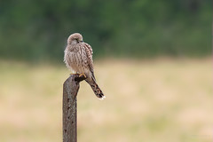Faucon crécerelle juvénile - Yearling Common kestrel (Serge Lemaire) Tags: bird birdwatching campagne nature oiseau ornithologie ornithology rapace summer wildlife été