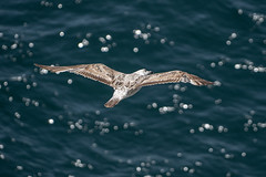 Immature European gull - Lisbon, Portugal (Peter.Stokes) Tags: 2019 buildings cruise cruise2019 europe history holiday landscape lisbon photo photography portugal sea birds gulls seagulls