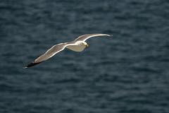 European gull - Lisbon, Portugal (Peter.Stokes) Tags: 2019 buildings cruise cruise2019 europe history holiday landscape lisbon photo photography portugal sea birds gulls seagulls