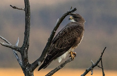0P6A7107-2  Swainson's Hawk (edhendricks27) Tags: hawk bird wildlife canon