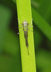 2019_05_0785 (petermit2) Tags: damselfly nostellpriory nostell priory wragby wakefield westyorkshire yorkshire nationaltrust nt
