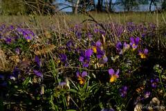 Viola tricolor (Nelleke C) Tags: 2019 elbe heartsease laasche seege driekleurigviooltje duitsland flora germany grasland grassland holiday landscape landschap spring vakantie violatricolor violaceae voorjaar