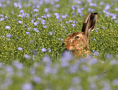 Brown hare lying-up in flax (Peter Warne-Epping Forest) Tags: lepuseuropaeus brownhare flax essex wildlife lagomorph peterwarne