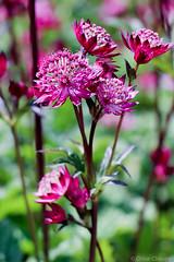Metallic Flower Bokeh (_chloechappell) Tags: metallic pink pinkflower bokeh macro selective focus bright outdoors nature canon canoncamera canon700d surrey summer