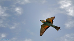 European Bee-eater (Merops apiaster) (Kike K.) Tags: bird animal beak feathers dragonfly insect color bokeh canon amateur 80d nature natural walk hiking river water sun light sunlight daylight tail heat humidity pond branch fly flight flying meal telephoto crop gimp gmic artistic experimental 400mm 2019 park grass green july krk insel island bif