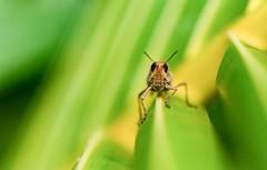 The Grin..... Grasshopper Liluah@WestBengal@India #grasshopper #insectworld #macro (drpunyabratabarma) Tags: macro insectworld grasshopper