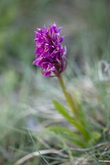 Dactylorhiza sambucina (AquaNat-photo) Tags: orchis dactylorhiza sambucina orchidéesauvage orchidée