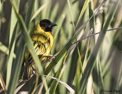 Tecelão de cabeça preta (Ploceus melanocephalus) | Black-headed Weaver (Fernando Delgado) Tags: aves tecelãodecabeçapreta birds birdwatching birdphotographing