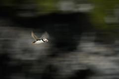 "Small bird, big cliffs (DrAnthony88) Tags: alcidae atlanticpuffin auks charadriiformes fraterculaarctica neognathae skomerisland unitedkingdom panning pembrokeshire wales ""inflight"" ""slowshutterspeed"""