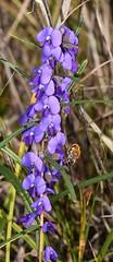 Hovea and honey bee (Beth_Kin) Tags: hoveatrisperma trichocolletesnativebee warwick bushland perth westernaustralia