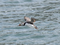 Puffin #1 (MJ Harbey) Tags: puffin auk aves charadriiformes alcidae fraterculini pelagicseabird bird puffinisland anglesey wales ynysseiriol nikon d3300 nikond3300 alcaarctica