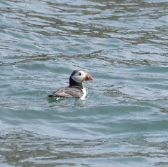 Puffin #2 (MJ Harbey) Tags: bird puffin auk fratercula aves charadriiformes alcidae fraterculini alcaarctica pelagicseabird puffinisland anglesey wales ynysseiriol nikon d3300 nikond3300