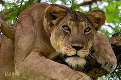 Patience (iamfisheye) Tags: africa june2019 vr queenelizabethnationalpark nikon f4 pf uganda d500 300mm afs gorillaschimpsofugandaphototour dx ishasha adventurevacationsafaris imagesofwildlife