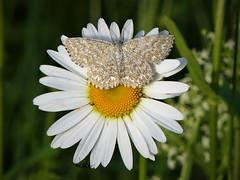 (Anna Folcker) Tags: blomma flower vit white fjäril butterfly sverige sweden sommar summer fz300