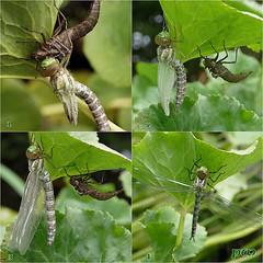 Libelle,frisch geschlüpft... (peterphot) Tags: garten teich juli leica sachsen libelle