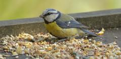 BlueTit (Tony Tooth) Tags: nikon d7100 sigma 50500mm bird bluetit meerbrook staffs staffordshire wildlife