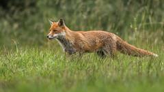 Fox (Glenn.B) Tags: nature animal mammal wildlife buckinghamshire fox grassland redfox vulpesvulpes britishfox