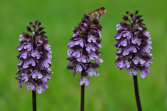 Lady Orchid and Heath Fritillary Butterfly (Orchis Purpurea, Melitaea Athalia) (natureloving) Tags: ladyorchid heathfritillarybutterfly orchispurpurea melitaeaathalia nature macro flower insect spring printemps natureloving flowersinfrance fleursenfrance flowersineurope flowersoffrance flowersofeurope nikon d90 afsvrmicronikkor105mmf28gifed