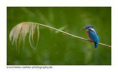 Eisvogel / kingfisher (Heiko Röbke) Tags: kingfisher de niedersachsen vogel fauna nature bird canon100400mm4056lisii wildlife eisvogel lowersaxony canon7dmkii natur 2019