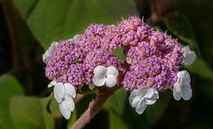 Samthortensie / Hydrangea sargentiana (Rainer Fritz) Tags: blüte samthortensie gartn natur gardenflower