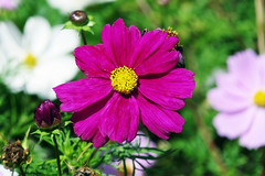 Cosmos Flowers (eric robb niven) Tags: ericrobbniven scotland dundee perthshire perth flowers springwatch cycling