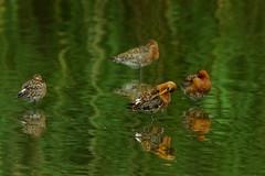 DSC06663 - Black tailed Godwit (steve R J) Tags: black tailed godwit blue house farm ewt reserve north fambridge essex birds wader british