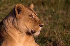 Portrait of a lioness - EXPLORED (July 17, 2019) (JD~PHOTOGRAPHY) Tags: lion lioness wild wildlife wildlifeportrait wildlifecloseup animal masaimara africanwildlife africasbigfive kenya africa canon canon6d
