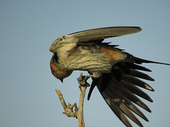 Time tot exercise  ( Greater striper Swallow / Grootstreepswael ) (Pixi2011) Tags: birds rietvleinaturereserve southafrica africa wildbirds nature