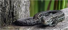 Common Lizard. (Fen Photos) Tags: woodwaltonfen greatfen greatfenproject wildlifetrust bcnwildlifetrust nnr cambridgeshire common lizard commanlizard reptile