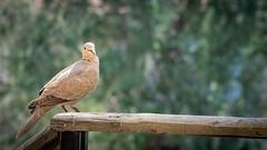 Oiseau (denis.fleurot) Tags: oiseau bird bokeh faibleprofondeurdechamp