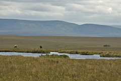 06071945 Sranataggle (Philip D Ryan) Tags: ireland countymayo sranataggle bog wildatlanticway bogpool cattlegrazing