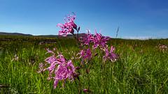 Ragged Robin (prajpix) Tags: wildflower flower moor moorland bog pool verdant nature sky summer hill hillside invernesshire highlands wild lychnisfloscuculi silenefloscuculi