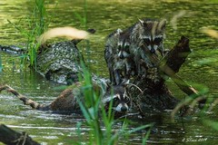 IMG_6684 raccoon family (starc283) Tags: starc283 flickr flicker forest nature natures finest watcher animal wildlife raccoon predator naturesfinest naturewatcher