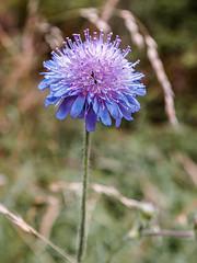 Fleur bleue (Jean-Marie Lison) Tags: x100t fleur bleu macro