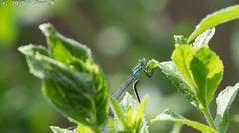 BlauweWaterjuffer (Joop_K) Tags: libelle tamronsp70200mmf28divcusdg2 nikond850