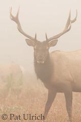 Elk in heavy fog (Pat Ulrich) Tags: california marincounty pointreyesnationalseashore wildlife animal mammal tuleelk bull cervuscanadensisnannodes fog foggyday grazing grasslands tomalespoint pointreyes cailfornia ©patulrich