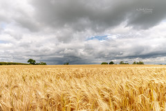 Field of barley in the sunshine. (jack cousin) Tags: england northyorkshire towthorpe uk york agriculture barley bluesky clouds countryside crop cumulusclouds darkclouds day ear ears farm farmland field foliage harvest hedge hedgerow idyllic land nature outdoors planted planting ripening rural rustic season seasonal shadow sky skyline summer sunny sunshine tranquil tree yellow unitedkingdom nikond610