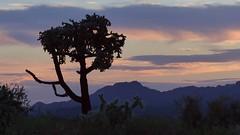 Lone cholla sunset (jimsc) Tags: sunset cholla cactus skyscape westernskyskycolor evening eveningsky endofday ngc summer july desert sonorandesert arizona pimacounty tucson catalina panasonic fz200 jimsc