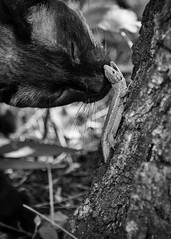 Battle of David and Goliath (B&W) (z.varallyay) Tags: cat lizard battle fight nature animals interaction