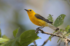 Prothonotary Warbler (Greg Lavaty Photography) Tags: prothonotarywarbler protonotariacitrea texas july brazosbend statepark ftbendcounty birdphotography outdoors bird nature wildlife