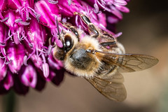 Bee on Allium (Julian Chilvers) Tags: allium plant insect flower bee animal