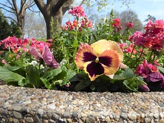 Lombard, IL, Lilacia Park, Spring, Planter, Flower Medley (Mary Warren 13.6+ Million Views) Tags: lombardil lilaciapark nature flora plant spring park garden blooms blossoms flowers