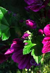 lighting the purple fire (Rosmarie Voegtli) Tags: petals purple lowkey knospen purpur summer green leaves garden hiding blooming morningwalk odc goetheanum dornach thecolorpurple ourdailychallenge buds bud violett color colours light inexplore