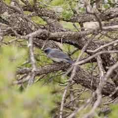 Western Bluebird (rschnaible (Off Back Soon)) Tags: chiricahua national monument arizona us usa outdoor landscape mountains western bluebird bird wild