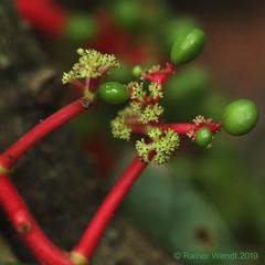 IMG_5867  Unidentified Liana (Raiwen) Tags: unidentifiedplant liana flora vegetation africa westafrica guinea moyenneguinée
