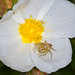 Spider in Cistus Flower - Aranha em flor de esteva